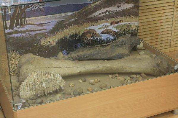 Кости и зуб мамонта